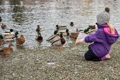 Duck eating bread Royalty Free Stock Photos