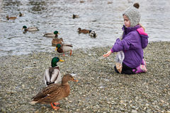 Duck eating bread Stock Photos