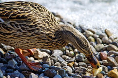 Duck eating Royalty Free Stock Image