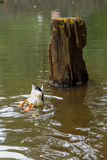 Duck eating Royalty Free Stock Photo