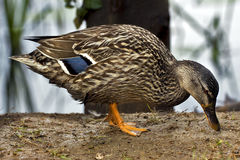 A duck eating in the earth Royalty Free Stock Image