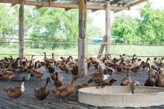 Duck eating food in farm, traditional farming. Duck eating food in farm, traditional farming in Thailand Royalty Free Stock Image