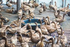 Duck eating food in farm, traditional farming. Duck eating food in farm, traditional farming in Thailand Stock Photo