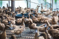 Duck eating food in farm, traditional farming. Duck eating food in farm, traditional farming in Thailand Stock Photos