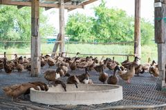 Duck eating food in farm, traditional farming. Duck eating food in farm, traditional farming in Thailand Royalty Free Stock Photos