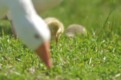 Duck family. Duck eating grass outdoors royalty free stock image