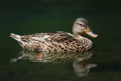 Duck, Ebro river Royalty Free Stock Image