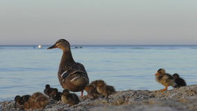 Duck ed anatroccoli pochissimi su una spiaggia stock footage