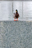 Duck on the edge Royalty Free Stock Images