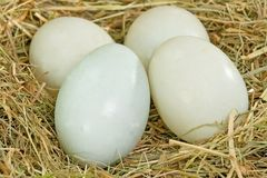 Duck Eggs Fotografia Stock