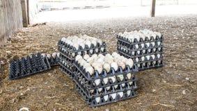 Duck eggs Stock Photos