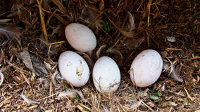 Duck Eggs Stock Photo