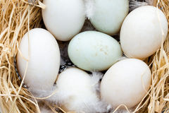 Duck eggs nest, spring Easter symbol. Stock Photo
