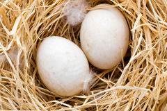 Duck eggs nest, spring Easter symbol. Royalty Free Stock Image