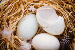 Duck eggs nest, spring Easter symbol Royalty Free Stock Photography