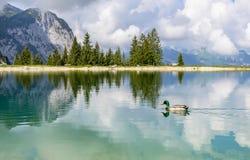 Duck in Ehrwalder Almsee - bello lago della montagna nelle alpi, Tirolo, Austria Fotografie Stock Libere da Diritti