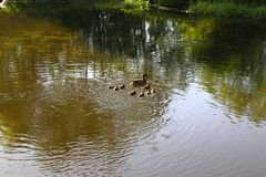 Duck and eight ducklings floating on the river.  royalty free stock photos