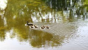 Duck and eight ducklings floating on the river stock photo