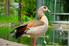 Duck el primer en Palmen Garten, Frankfurt-am-Main, Hesse, alemán Fotografía de archivo libre de regalías