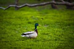 Duck em esse dos pariks em Moscou No parque Gorki Pato bonito Fotos de Stock Royalty Free