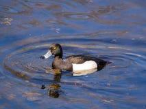 Duck en agua azul Imagen de archivo libre de regalías