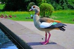 Duck en primer en Palmen Garten, Frankfurt-am-Main, Hesse, Ger Imagenes de archivo