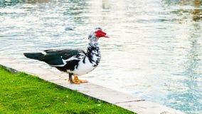 Duck en un parque de la ciudad en Solin, Croacia, gozando por el agua Fotografía de archivo libre de regalías