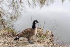 Duck en una charca en el parque de la ciudad en día soleado del otoño imagen de archivo