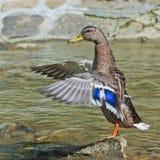 Duck en una piedra en un fondo de la corriente Fotografía de archivo libre de regalías