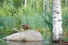 Duck en una piedra grande en el lago o la charca cerca de abedul en backgrou Fotografía de archivo