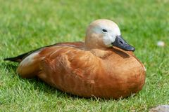 A duck enjoing sunbath stock images