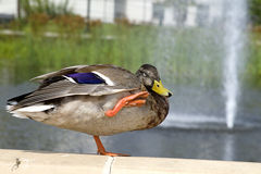 Duck Enjoying Fountain Stock Image