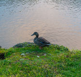 Duck enjoying the river side Royalty Free Stock Photos