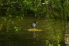 Duck enjoying the sun Stock Images