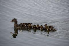 Duck et canetons de maman Image libre de droits