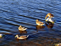 Duck evening. Stock Image