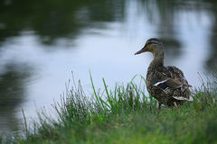 Duck at evening pond Royalty Free Stock Photography