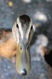 Duck Face Stock Photos