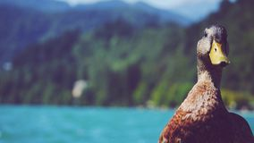 Duck Face Royalty Free Stock Images