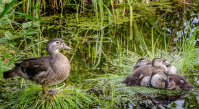 Duck familiy Royalty Free Stock Photo