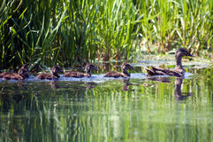 Duck Family. A duck family cross the river royalty free stock image