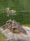 Duck family. Wild duck with duckling at stone royalty free stock photos