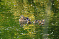 Duck family. Swimming on water with nice reflection stock photos