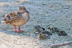 Duck family. Common duck with sleepy babies Royalty Free Stock Images