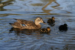 Duck family. A bird mother  cares and floats with the little duck Stock Photography