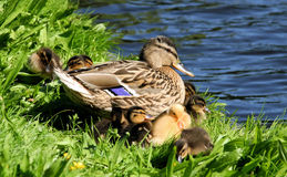 Duck family. An adult wild duck with a brood of ducklings royalty free stock photography