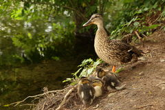 Duck family. View of a mother duck with her chicks at her feet Stock Photo