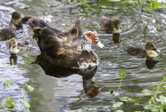 Duck Family. Mother duck and her little ducklings royalty free stock images
