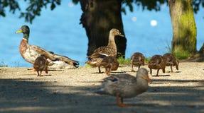 Duck Family Fotografia de Stock Royalty Free
