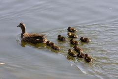 Duck family Stock Images